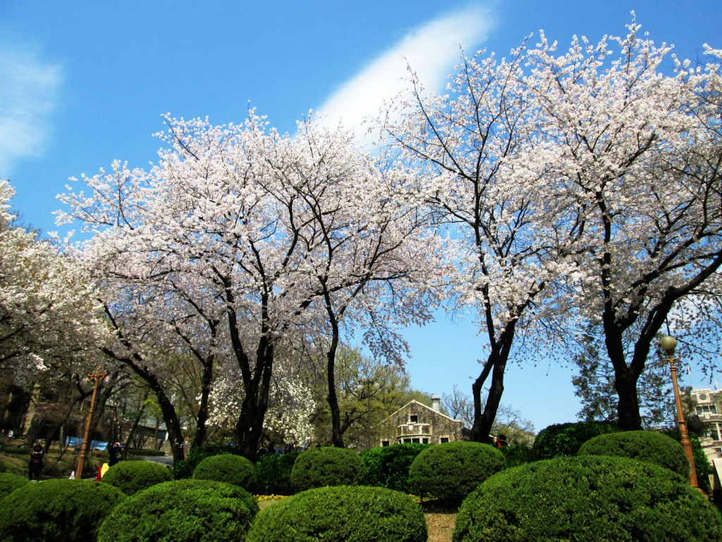 In spring, cherry blossoms bloom in a poetic pink on Yonsei Campus